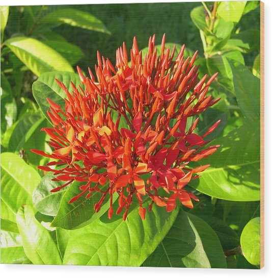 Ixora Wood Print by Addie Hocynec