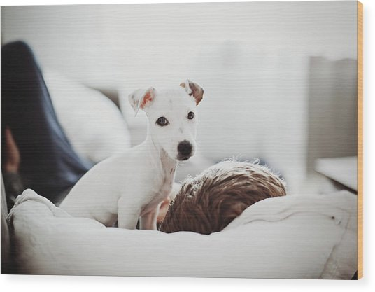 Jack Russell Terrier Puppy With His Owner Wood Print