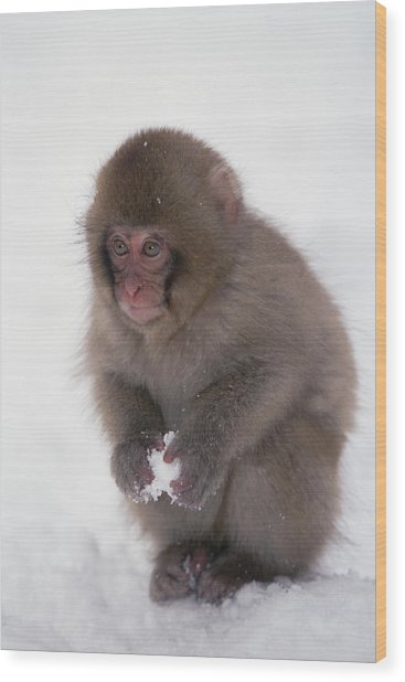Wood Print featuring the photograph Japanese Macaque Macaca Fuscata Baby by Konrad Wothe