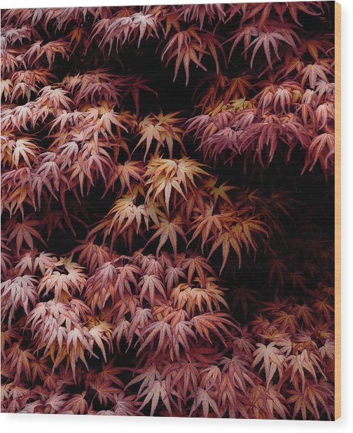 Japanese Maple, Acer Palmatum Seigen Wood Print by Frank Tschakert