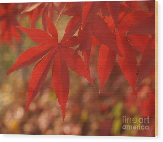 Japanese Maple In Afternoon Wood Print by Anna Lisa Yoder