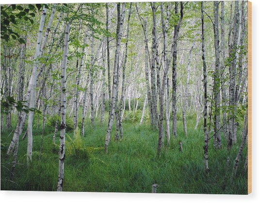Jesup Path Birches Wood Print by Steven Scott
