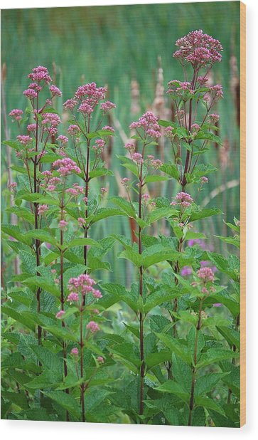 Joe-pye Weed Wood Print