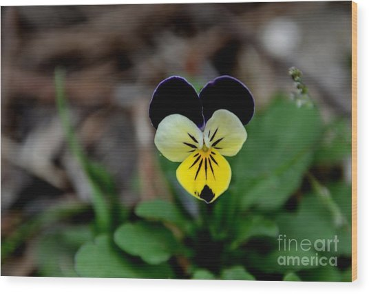 Jonny Jump Up - Relative To A Pansy Wood Print