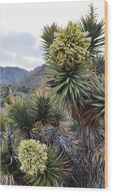 Joshua Tree Bloom Rainbow Mountain Wood Print
