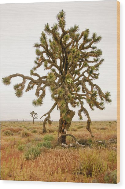 Joshua Trees In Desert Wood Print