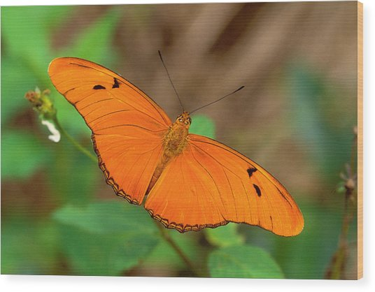 Julia Butterfly Wood Print