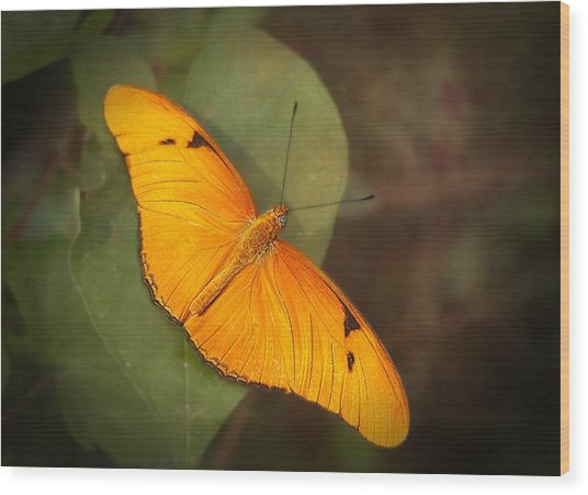 Julia Dryas Butterfly-2 Wood Print