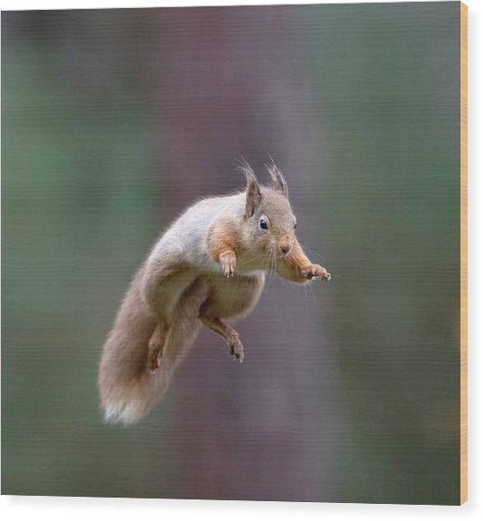Jumping Red Squirrel Wood Print