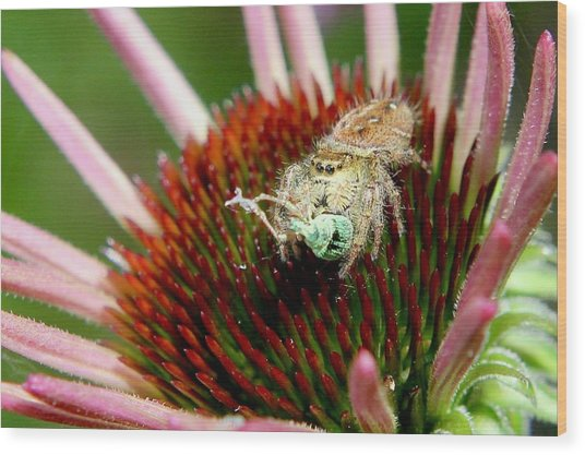 Jumping Spider With Green Weevil Snack Wood Print