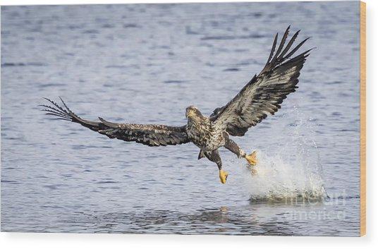 Juvenile Bald Eagle Fishing Wood Print