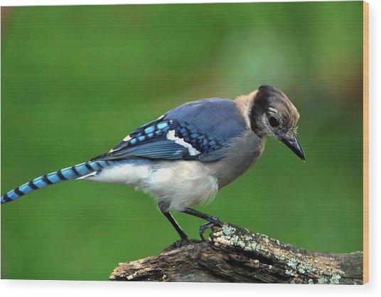 Juvenile Blue Jay  Wood Print