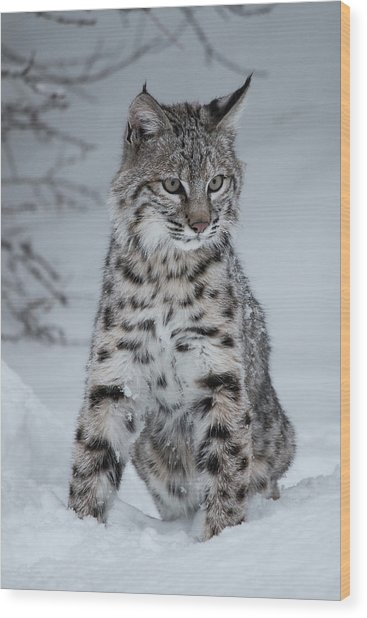 Juvenile Bobcat In The Snow Wood Print