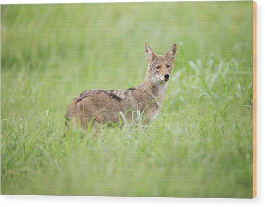 Juvenile Coyote Wood Print
