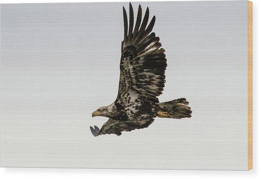 Juvenile Eagle Flying Wood Print