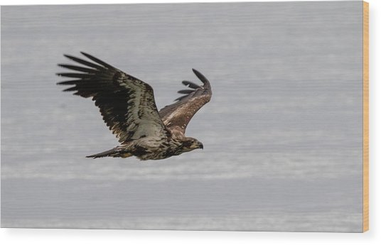 Juvenile Eagle Over The Ocean Wood Print