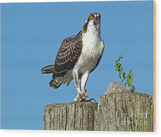 Juvenile Osprey#1 Wood Print