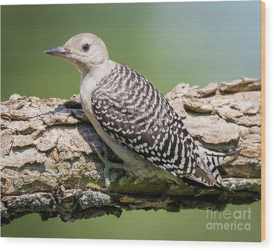 Juvenile Red-bellied Woodpecker Wood Print