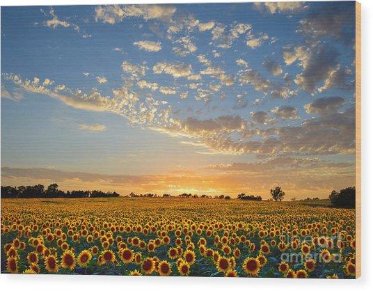 Kansas Sunflowers At Sunset Wood Print