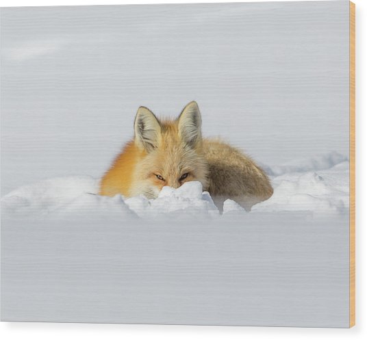 Snow Hide Wood Print