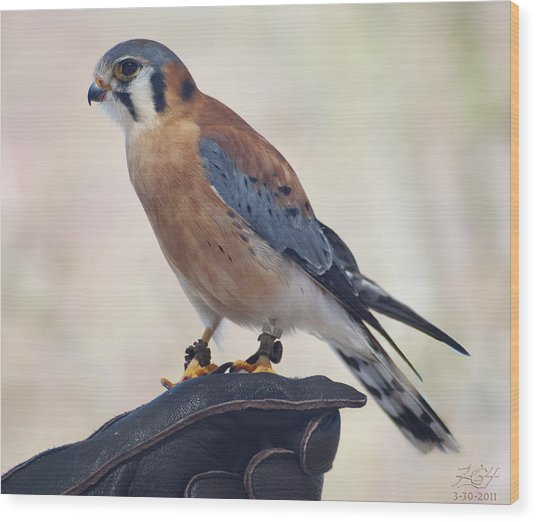 Kestrel Wood Print