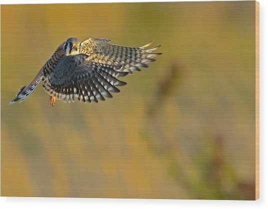 Kestrel Takes Flight Wood Print