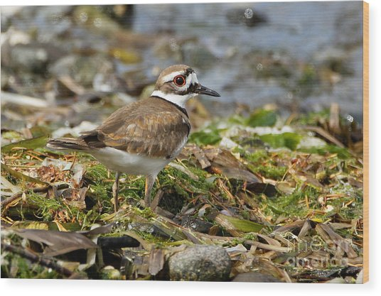 Killdeer At The Coast Wood Print