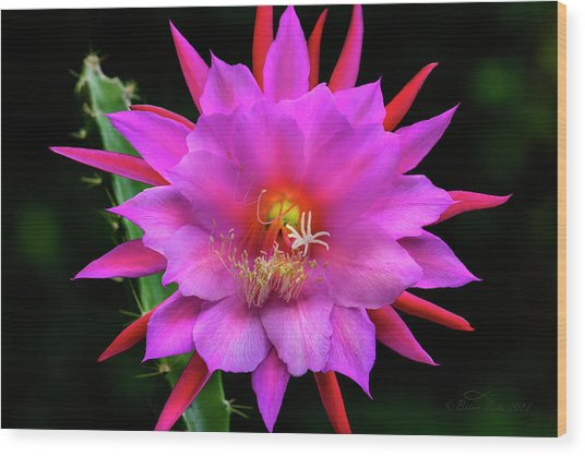 Kimnach's Pink Orchid Cactus Wood Print