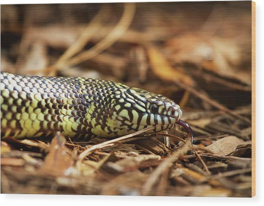 King Snake 2 Wood Print
