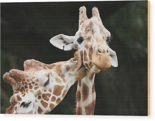 Kissing Giraffes Wood Print by Buck Forester