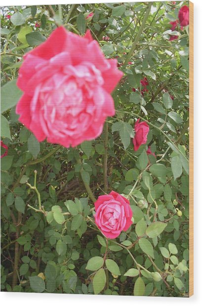 Knockout Roses Wood Print by Warren Thompson