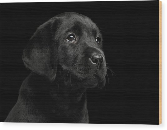 Labrador Retriever Puppy Isolated On Black Background Wood Print