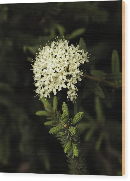 Wood Print featuring the photograph Labrador Tea And Spruce Buds by Fred Denner