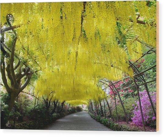 Laburnum Arch, Bodnant Garden Wood Print