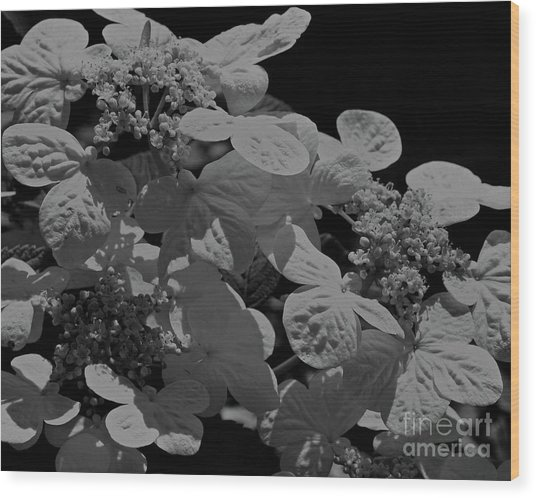 Lace Cap Hydrangea In Black And White Wood Print