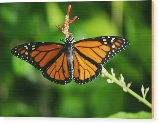 Lady Monarch Wood Print