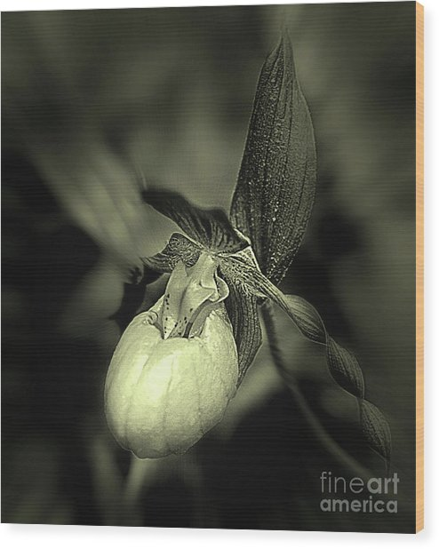 Lady Slipper Orchid Flower Wood Print