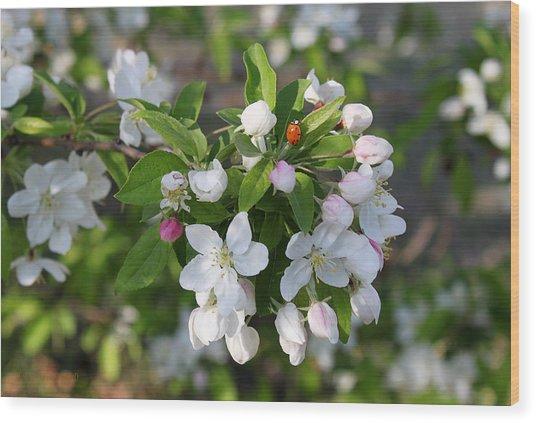 Ladybug On Cherry Blossoms Wood Print