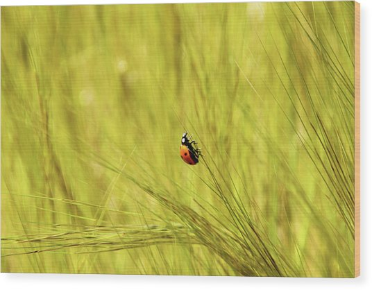 Ladybug In A Wheat Field Wood Print
