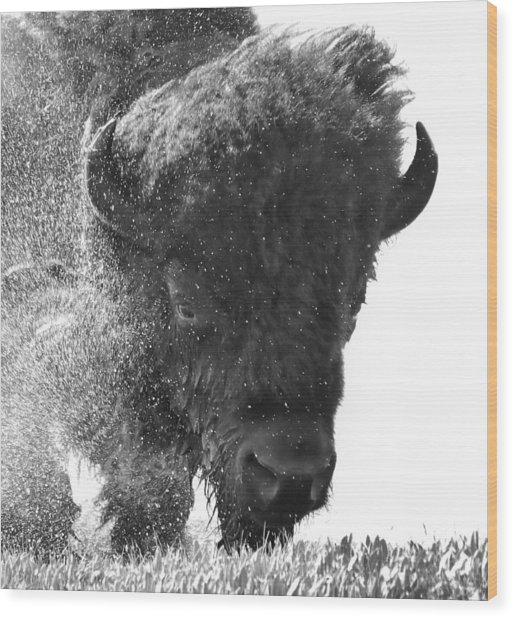 Lamar Valley Bison Black And White Wood Print