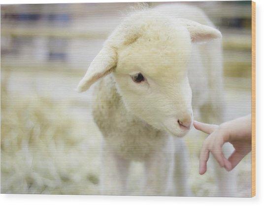 Lamb At Denver Stock Show Wood Print