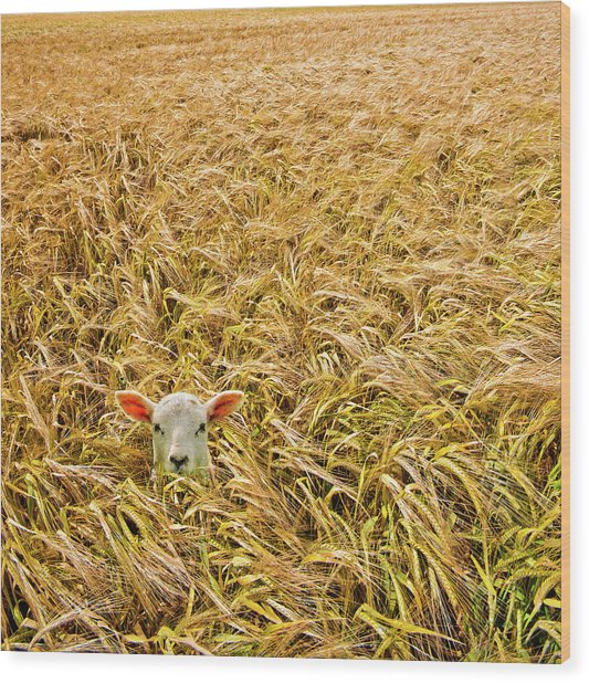 Lamb With Barley Wood Print