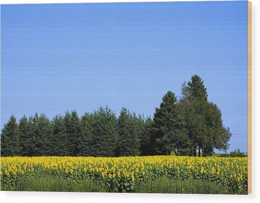 Land Of Sunflowers Wood Print by Gary Smith