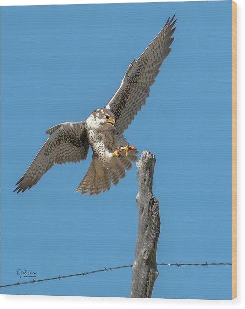 Landing Prairie Falcon Wood Print
