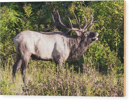 Large Bull Elk Bugling Wood Print