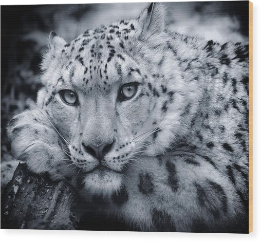 Large Snow Leopard Portrait Wood Print