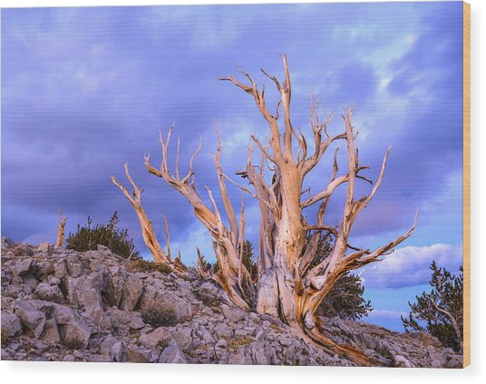Last Light On The Bristlecones Wood Print