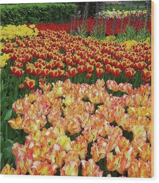 Last One Of My Week Of #tulips. If You Wood Print by Dante Harker