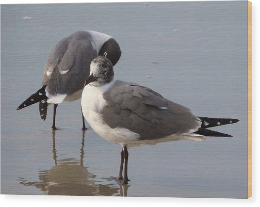 Laughing Gull Wood Print