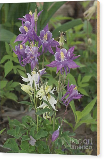Lavender And White Columbine Wood Print